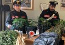 Padre in manette, il figlio segnalato per uso di sostanze stupefacenti. A Ladispoli i carabinieri sequestrano piante di marijuana